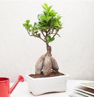 Exotic Ficus Bonsai ginseng  Van çiçek servisi , çiçekçi adresleri