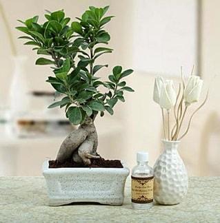 Ginseng ficus bonsai  Van çiçekçiler