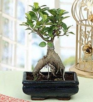 Appealing Ficus Ginseng Bonsai  Van anneler günü çiçek yolla