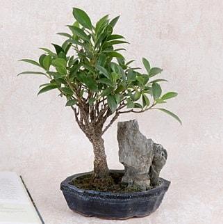 Japon ağacı Evergreen Ficus Bonsai  Van çiçek gönderme sitemiz güvenlidir