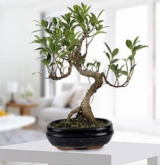 Gorgeous Ficus S shaped japon bonsai  Van yurtiçi ve yurtdışı çiçek siparişi