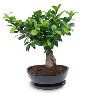 Ginseng bonsai ağacı özel ithal ürün  Van internetten çiçek satışı