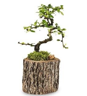 Doğal kütükte S bonsai ağacı  Van çiçek satışı