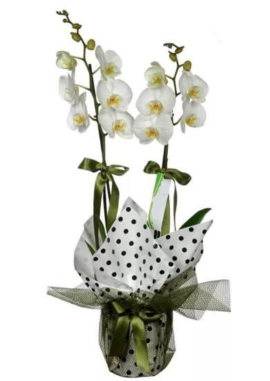 Çift Dallı Beyaz Orkide  Van 14 şubat sevgililer günü çiçek