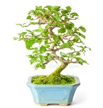 S zerkova bonsai kısa süreliğine  Van İnternetten çiçek siparişi