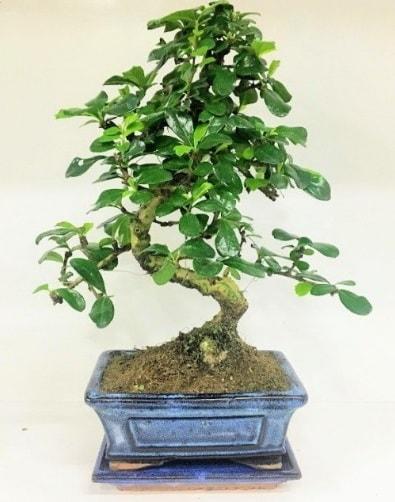 S Bonsai japon ağacı bitkisi  Van uluslararası çiçek gönderme