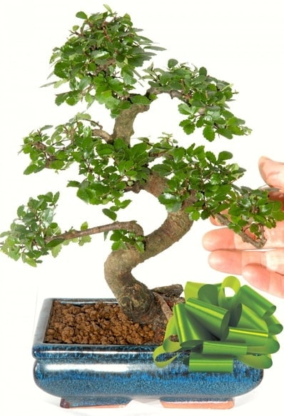 Yaklaşık 25 cm boyutlarında S bonsai  Van çiçek siparişi sitesi
