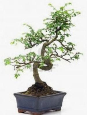 S gövde bonsai minyatür ağaç japon ağacı  Van çiçek satışı