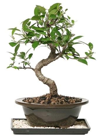 Altın kalite Ficus S bonsai  Van çiçekçi telefonları  Süper Kalite