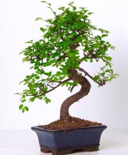 S gövdeli bonsai minyatür ağaç japon ağacı  Van çiçek gönderme sitemiz güvenlidir