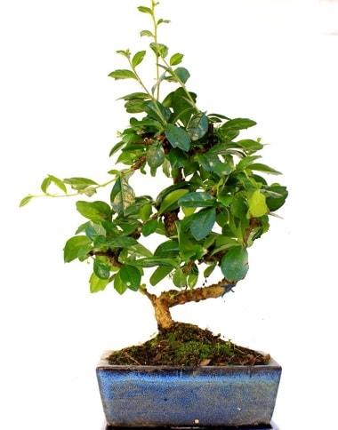 S gövdeli carmina bonsai ağacı  Van çiçek yolla  Minyatür ağaç
