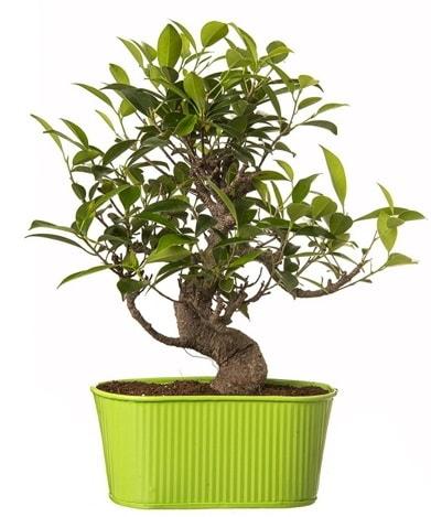 Ficus S gövdeli muhteşem bonsai  Van çiçek siparişi sitesi
