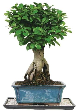 Bonsai Ginsing Grafted Ficus Bonsai  Van çiçek yolla
