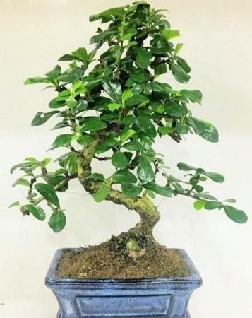 Zelkova S gövdeli Minyatür ağaç Bonzai  Van çiçek gönderme