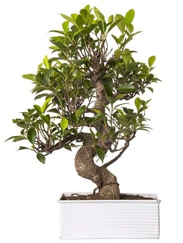 Exotic Green S Gövde 6 Year Ficus Bonsai  Van çiçek gönderme sitemiz güvenlidir