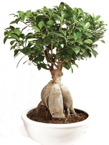 Ginseng bonsai japon ağacı ficus ginseng  Van İnternetten çiçek siparişi