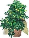 Van internetten çiçek siparişi  Schefflera gold